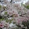 第44回 日本一の桜の里健康マラソン大会に申し込みました。